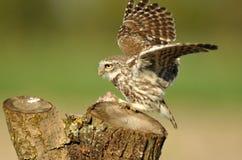 Eule mit den Flügeln ausgestreckt Stockbild