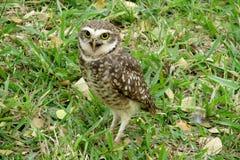 Eule mit den großen gelben Augen, die auf Gras stehen Stockfotografie