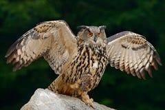 Eule mit Fangtier Großer Eurasier Eagle Owl mit Tötungsigelem in der Kralle, sitzend auf Stein Szene der wild lebenden Tiere von  Stockfotografie