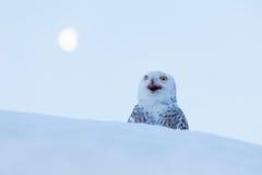 EULE MIT MOND Schneeeule, Nyctea-scandiaca, seltener Vogel, der auf dem Schnee, Winterszene mit Schneeflocken im Wind, früher Mor Stockfotografie