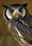 Eule mit orange Augen Lizenzfreies Stockbild