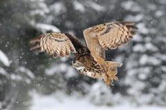 Eule mit Schneeflocke im schneebedeckten Wald während des kalten Winters Uhu im Naturlebensraum, Frankreich Schneebedeckte Szene  Stockfotos