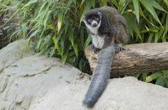 eulemur拉丁狐猴猫鼬mongoz名字 免版税库存图片