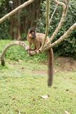 Eulemur fulvus. Emale brown lemur in a tree Royalty Free Stock Image
