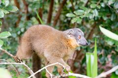 Eulemur fulvus in a tree. Female brown lemur on a tree Stock Images