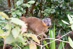 Eulemur fulvus Stock Photo