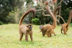 Eulemur fulvus. Group of brown lemur on grass Stock Image