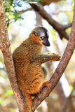 Eulemur rufifrons Royalty Free Stock Images