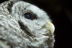 Eulen-Auge stockfoto