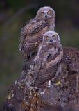 Eulen des gewordenen Vogels auf Flechte bedeckten Felsen Lizenzfreie Stockfotos