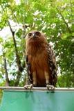 Eulen sind mit schönen Augen selten, die im wilden leben stockbild