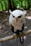Eulen sind mit schönen Augen selten, die im wilden leben stockfotografie