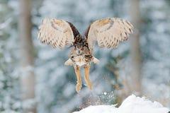 Eulenanfang vom Schnee Fliegen-eurasischer Uhu mit offenen Flügeln mit Schneeflocke im schneebedeckten Wald während des kalten Wi Lizenzfreie Stockfotos