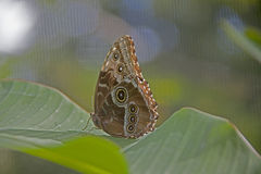 Eulenschmetterlingsreste auf grünen Blättern Stockfotografie
