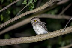 Eulenvogel, der nachts sitzt Lizenzfreies Stockfoto