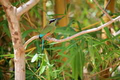 Eumomota superciliosa - Motmot. In Costa Rica Stock Photos