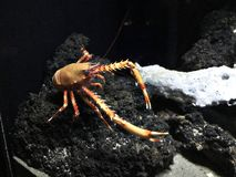 Eumunida picta or Eumunida pacifica or Squat lobster. stock photo