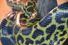 Free Eunectes Notaeus South Anaconda, Or Yellow Anaconda Royalty Free Stock Photos - 138947768