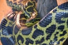 Eunectes notaeus South Anaconda, or yellow Anaconda. In the terrarium royalty free stock photos
