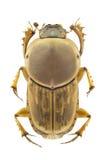 Euoniticellus fulvus Stock Image