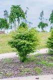 Euonymus alatus compacta. Stock Photography