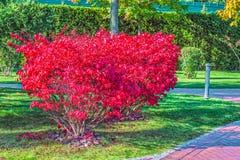 Euonymus alatus, Compactus, rodzinny Celastraceae w czerwonym jesień kolorze, Lokacja: Mezhigorye, Ukraina zdjęcie stock