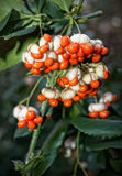 Euonymus Berries Stock Image