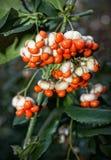 Euonymus Berries Stock Image