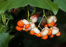 Euonymus Berries Royalty Free Stock Photo