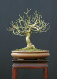 Euonymus bonsai Royalty Free Stock Photo