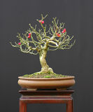 Euonymus bonsai with berries stock photography