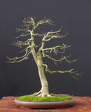 Euonymus bonsai in winter stock image