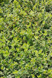 Euonymus emerald gaiety. Groundcover plant in the garden royalty free stock image