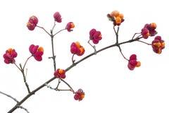 Euonymus europaeus plant Royalty Free Stock Images