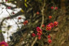 Euonymus europaeus Spindel, europäische Spindel, allgemeine Spindel - reife Frucht Lizenzfreies Stockfoto