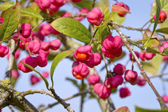 Euonymus europaeus, Spindle Stock Photography