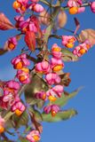Euonymus europaeus, spindle tree Stock Photo