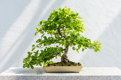 Euonymus fortunei Bonsai Royalty Free Stock Images