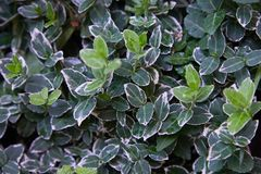 Euonymus fortunei Emerald Gaiety variegated green and white royalty free stock images