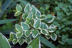 Euonymus fortunei Emerald Gaiety variegated green and white royalty free stock photos