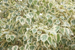 Euonymus fortunei,The tree of two color on leaves. Stock Photos