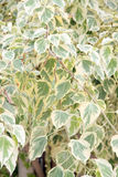 Euonymus fortunei,The tree of two color on leaves. Royalty Free Stock Photography