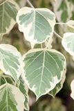 Euonymus fortunei,The tree of two color on leaves. Royalty Free Stock Photos