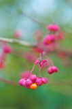 Euonymus. The fruit of the Euonymus in fall/winter time Royalty Free Stock Photography