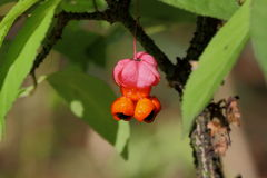Euonymus fruits. This unusual plant shrub, grows in open forests and forest edges. Blooms in the spring, in May - June. Fruits appear to fall. The flowers are Stock Photos