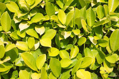 Euonymus Royalty Free Stock Image