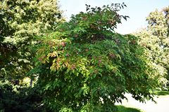 Free Euonymus Hamiltonianus Tree With Fruits In The Park. Stock Image - 164083511