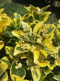Euonymus japonés decorativo del arbusto del eje japonicus foto de archivo libre de regalías