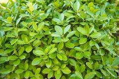 Euonymus japonicus, axe à feuilles persistantes, axe japonais photographie stock