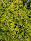 Euonymus japonicus image stock